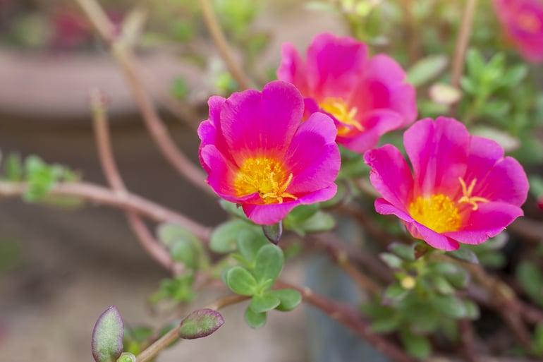 bigstock-Beautiful-Pink-Portulaca-Flowe-403998821