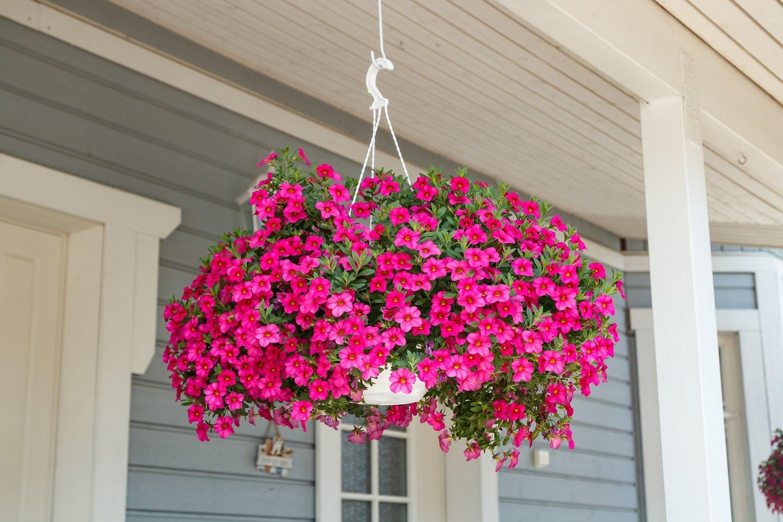 bigstock-Calibrachoa-Or-Bell-Flower-Fl-382019978