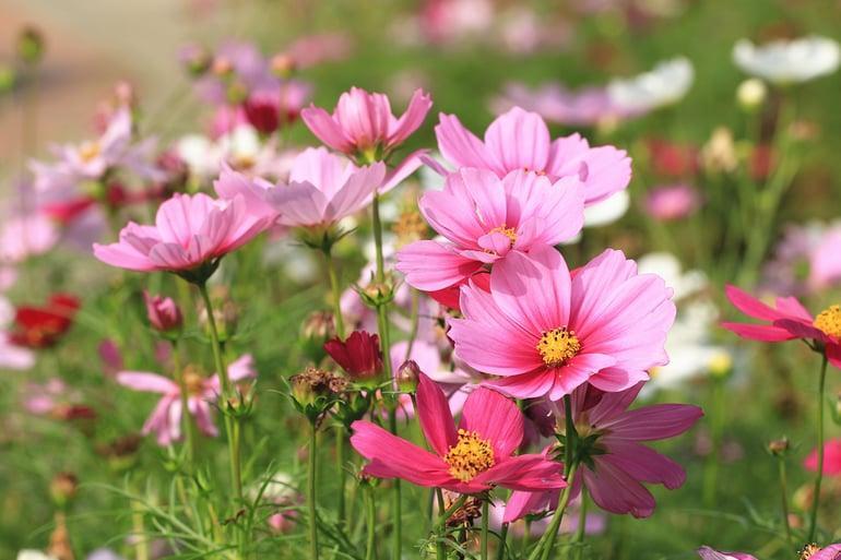 bigstock-Cosmos-Flowers-Field-many-Beau-386867092