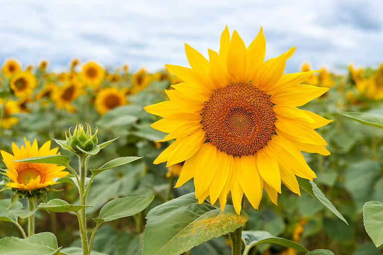 bigstock-Field-Of-Sunflowers-Large-Com-382563077