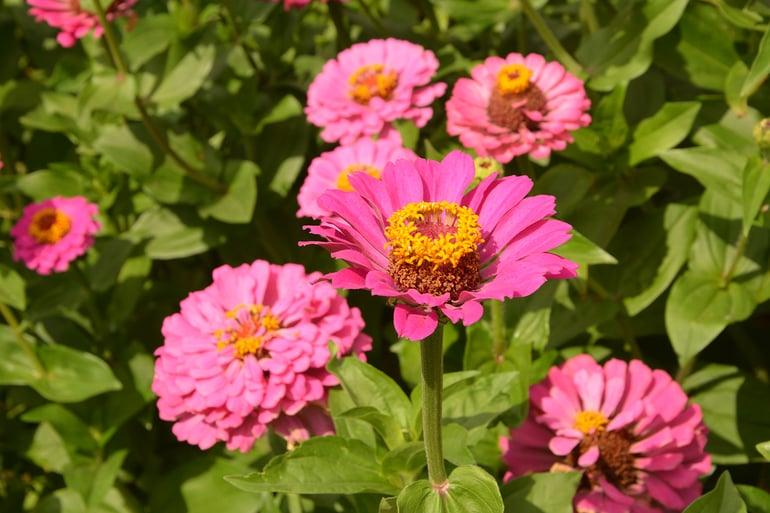 bigstock-Zinnia-Flowers-Growing-In-A-Fl-385131368