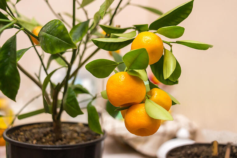 bigstock-Branch-Of-A-Calamondin-Citrus--360379906